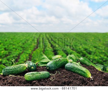Freshly Picked Cucumbers On The Ground