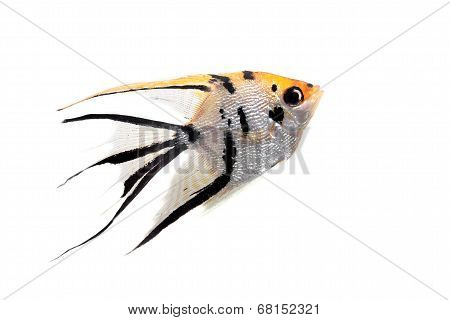Angelfish in profile on white