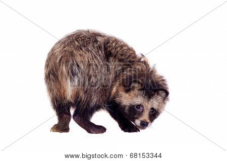 Raccoon Dog on white background