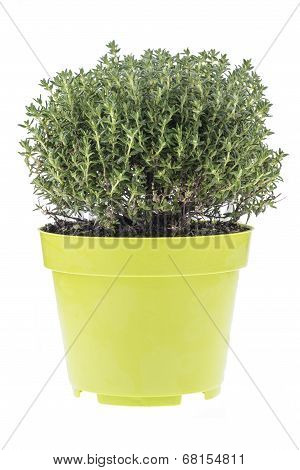 Thyme In Pot