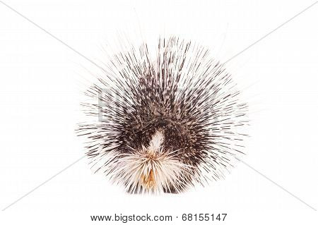 Indian crested Porcupine on white