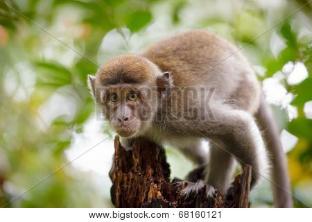 Wild monkey looking to camera