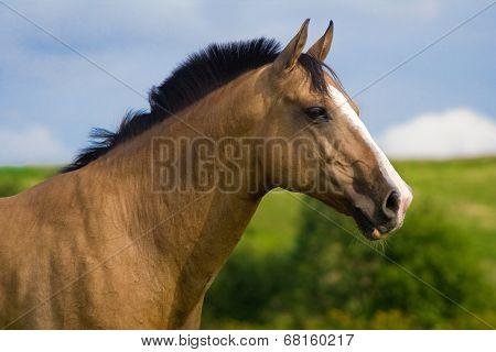 Red bay Arabian horse