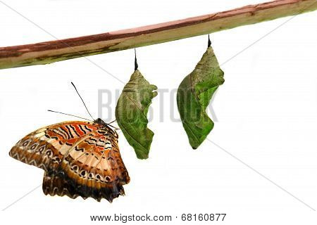 Lacewing Butterfly on Pupae over white