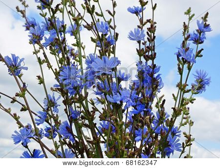 bouquet of chicory flowers close up on blue sky