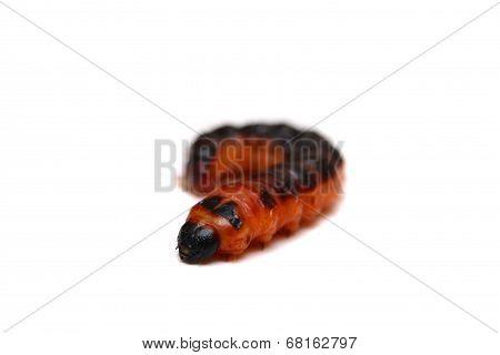 Big red catterpillar of Goat Moth on white