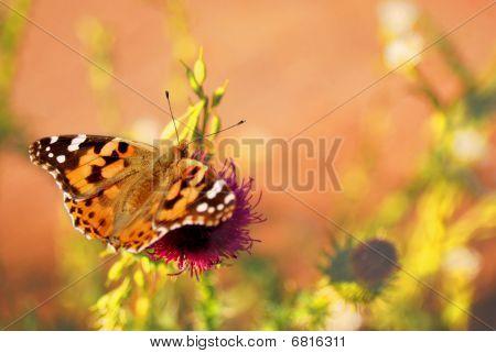 Vanessa Cardui Butterfly.