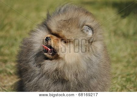 a dog Pekinese