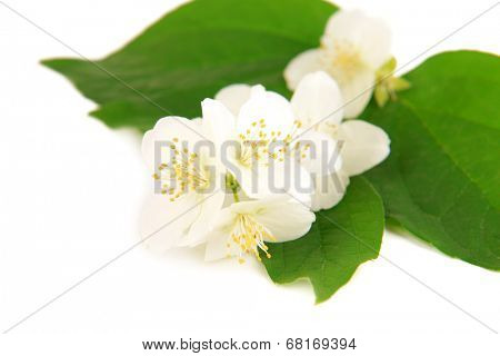 Beautiful jasmine flowers isolated on white