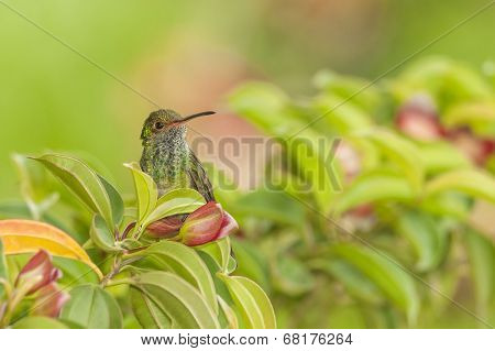 Rufous-tail In Bush