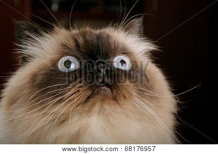 Portrait Of Birman Cat With Big Eyes