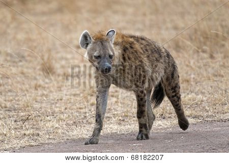 Hyena Walking Along Country Road