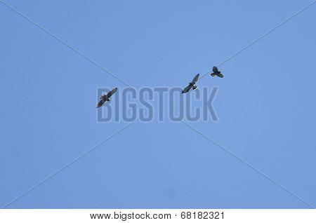 Broad-winged Hawk Migration