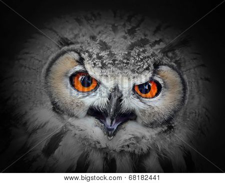 The evil eyes. Angry The Eagle Owl