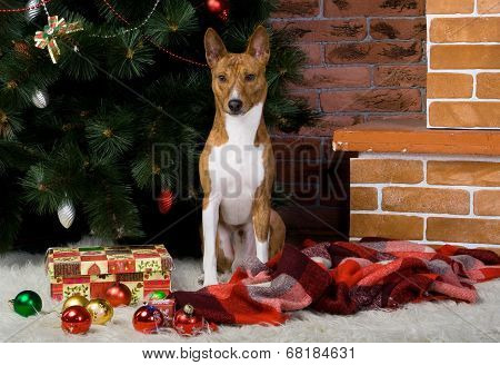 Basenji with christmas-tree decorations.
