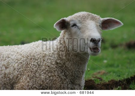 Noisy Sheep