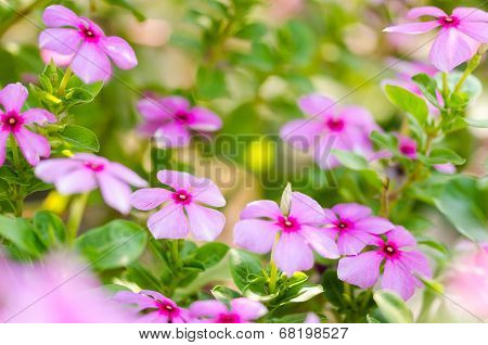 Catharanthus Roseus Or Periwinkle