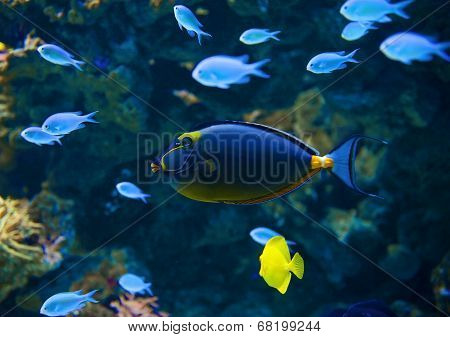 Underwater world with Naso Tang fish