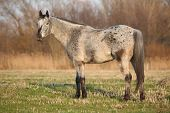 stock photo of appaloosa  - Gorgeous appaloosa standing alone in nature on grass - JPG