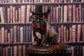 stock photo of french bulldog puppy  - French bulldog puppy with neck bow and old-fashioned black hat in library