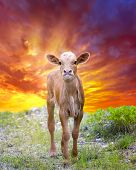 stock photo of texas-longhorn  - Days - JPG