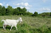 foto of nibbling  - meadow graze white goat nibble on grass on summer day - JPG