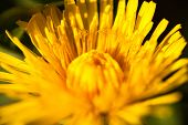 image of yellow buds  - Closeup of the blooming yellow dandelion flower.