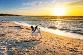 pic of bulldog  - French bulldog on the beach at sunset - JPG