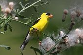 stock photo of goldfinches  - Male American Goldfinch  - JPG