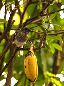 stock photo of robin bird  - robin bird with banana on a branch - JPG