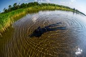 stock photo of spearfishing  - Spearfisher in black wetsuit moving on shallow part of the lake towards reed thicket - JPG