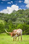 image of longhorn  - Female Longhorn cow grazing in a Texas pasture - JPG