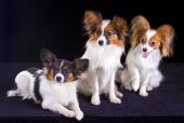 stock photo of epagneul  - Three dogs of breed papillon isolated on a white background - JPG
