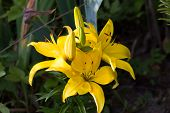 stock photo of day-lilies  - Large flower garden plants yellow day Lily - JPG
