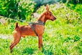 pic of miniature pinscher  - Close Up Red Dog Miniature Pinscher  - JPG
