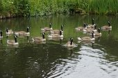 picture of canada goose  - Flock of Canada Goose - Branta canadensis ** Note: Shallow depth of field - JPG