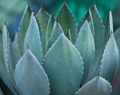 picture of century plant  - Macro of succulent plant in the desert - JPG