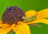 pic of black-eyed susans  - black eyed susan with a grasshopper perched on its petals.