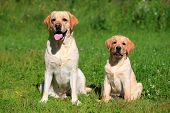 stock photo of puppies mother dog  - Labrador retriever - JPG