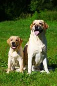 foto of puppies mother dog  - Labrador retriever - JPG