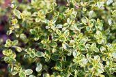 stock photo of creeping  - Thymus vulgaris  - JPG