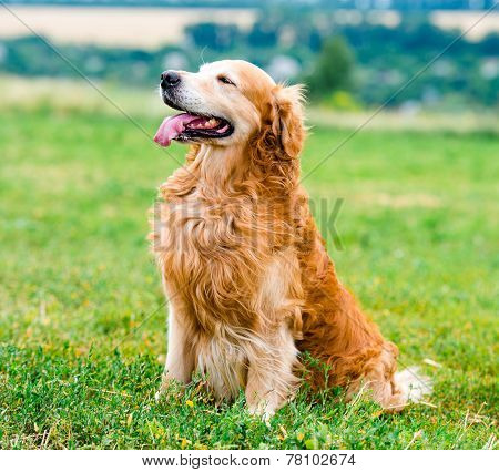 beautiful dog breed golden retriever, outdoors
