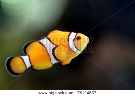 Clownfish In The Reef Sea Area.