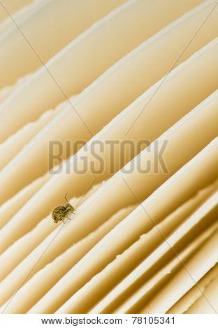 Amanita Vittadinii Mushroom Gills With Springtails Insect