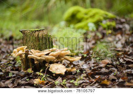 Brown Mushrooms Growing On A Tree Stump