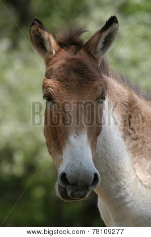 Kiang (Equus kiang), also known as the Tibetan wild ass.