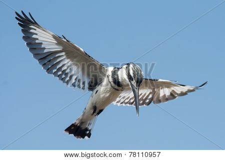 Pied Kingfisher (ceryle Rudis) Male Hovering In Flight