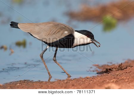 Spur-winged Lapwing (vanellus Spinosus) Tossing And Catching A Mud Covered Maggot