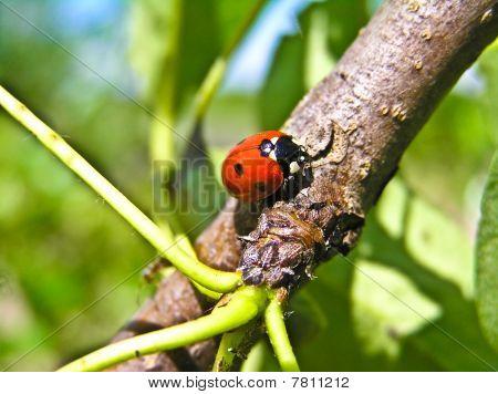 Marienkäfer (Coccinella Septempunktata) und A Anlage Laus