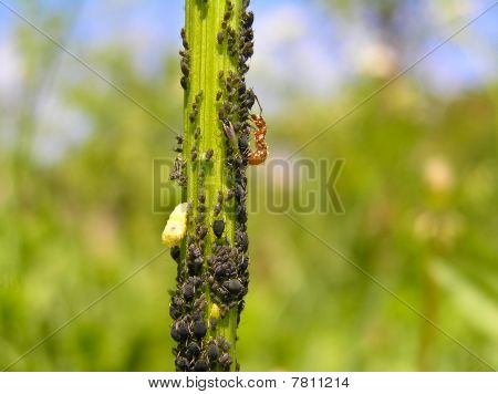 Plant Louse And Ant